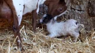 Chèvres miniatures des Tourelles - Mise bas de ma belle PRALINE - part.1