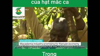 Macca VIP chia sẻ: Giá trị của hạt Mắc ca trong phát triển kinh tế tại Kenya