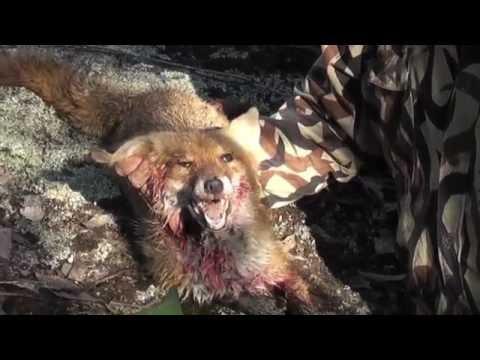 Bowhunting Fox