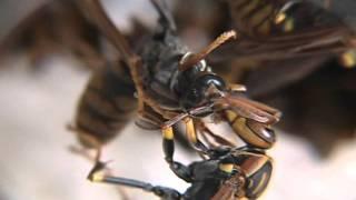 巣を離れる時期が遅かったのか、自分が生んで育てた娘達(働き蜂)に噛み...