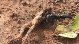 Enormous ant dragging frog carcass