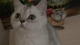 Котик Хоббит // Питомник шотландских кошек Безухов (Bezuhov) // Шотландские котята