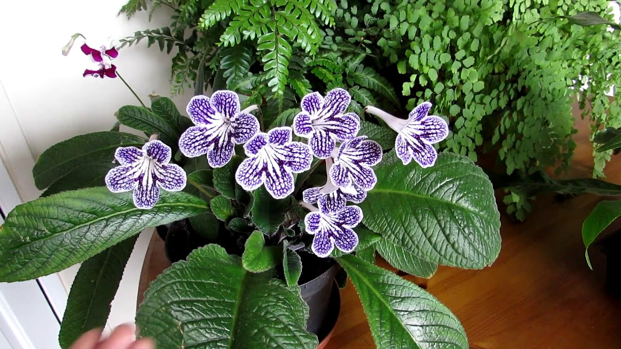 Our Streptocarpus Polka Dot Purple Houseplant In Beautiful Flower