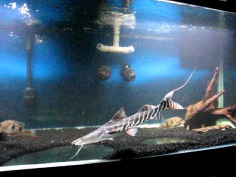 Short Tribute To My 2 Ft Tigrinus Catfish