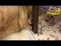 茶トラ猫「ひろし」なんか狭いにゃ…寝にくいにゃ…なぜにゃ?
