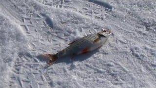 Зимняя рыбалка. Плотва..