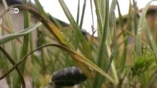 Stirbt die Biene, stirbt der Mensch? | Global Ideas