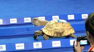 で結局、ガチで勝負させたらどっちが速いん?リアル「ウサギとカメ」競争が開催される。その結末は?