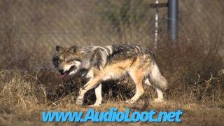 Many Wolves Howling - Royalty Free Sound Effects - AudioLoot.net