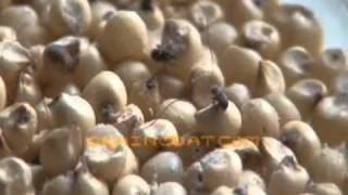 Weevil and flour beetle in jowar