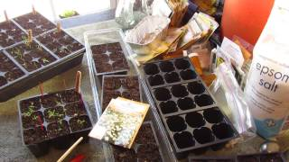 Garden Flowers: How to Seed Start German Chamomile Indoors: An Herb Too! - MFG 2014