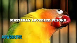 Masteran Lovebird Pusoko
