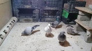 Erkek erkeğe  eşleşen güvercin 'ler 👹
