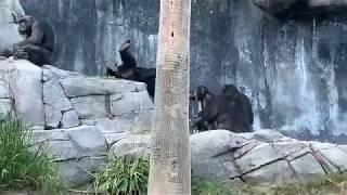 チンパンジー グレン家族 ロスアンゼルス動物園 12102018 ~~~~~~...