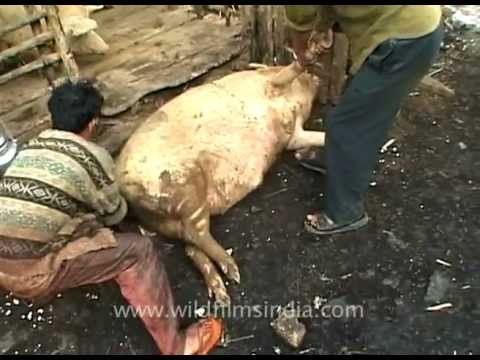 Pig takes his last breath during slaughter