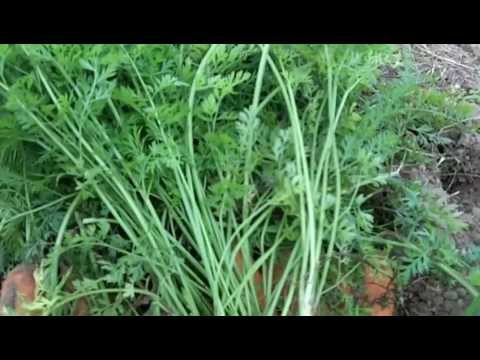 "Growing Organic Carrots:  What to do with ""Carrot Tops"""
