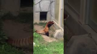 Красная панда и камень