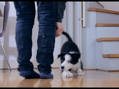 Teaching puppy 'crawl' with clicker training