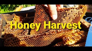 It's midsummer in the forest garden and time for an unexpected honey harvest from overcrowded warre hive.
