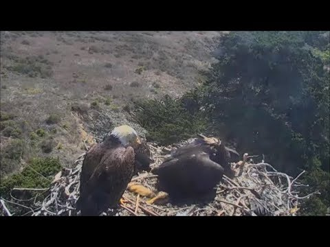 Sauces Bald Eagles- Parent Brings Dead...
