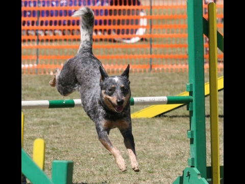 Australian Cattle Dog History, Personality, Health, Care