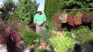 Ornamental Annual Grasses - Part 2