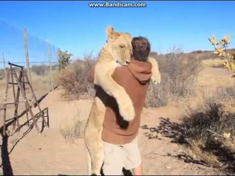 Lion hugs a guy!!