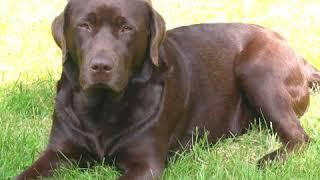 Chesapeake Bay Retriever  Dog Breed  Pet Friend