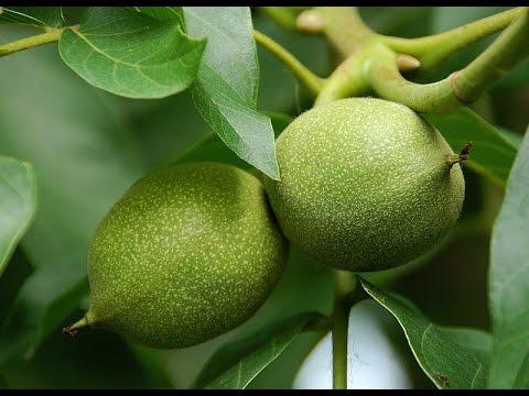 Ореховый бальзам на основе зеленых грецких орехов - YouTube