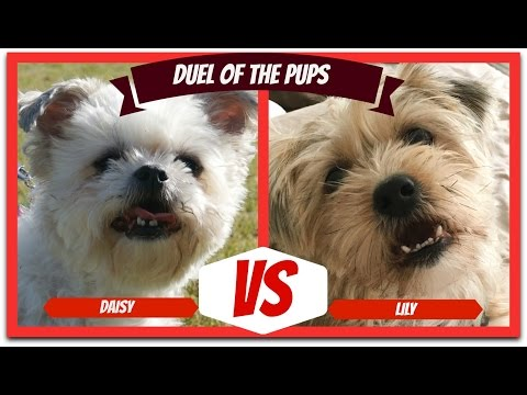 Puppy Duel! Silky Terrier Plays Tug of War with a Shih Tzu Bichon Frise Mix