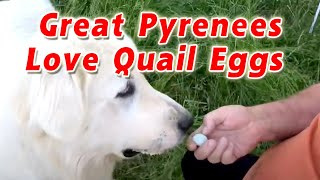 My Great Pyrenees Love Quail Eggs | My Dog Eats 6 Quail Eggs | Feeding Raw Quail Eggs to Dog