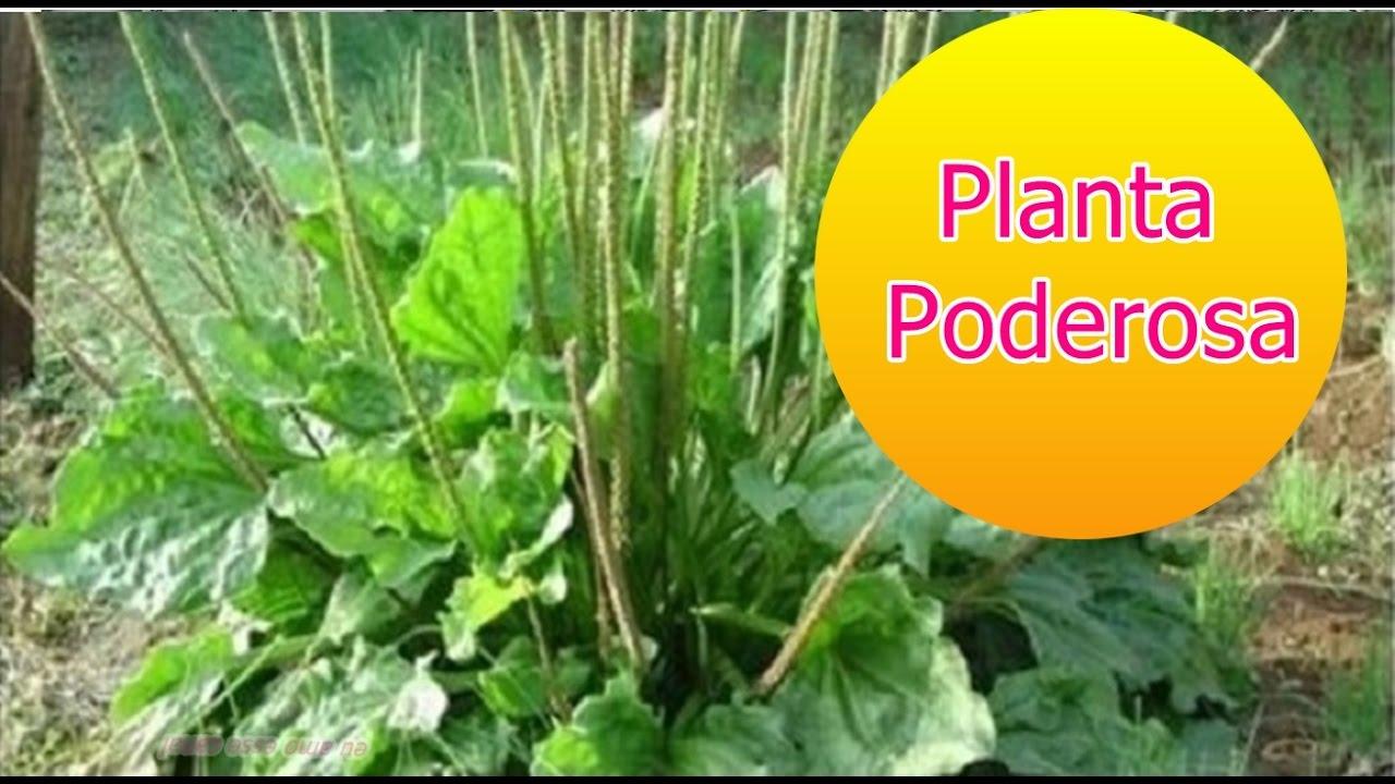 Esta Planta 233 Poderosa Para Tratar Asma Gripe Sinusite E Dor De Garganta Youtube
