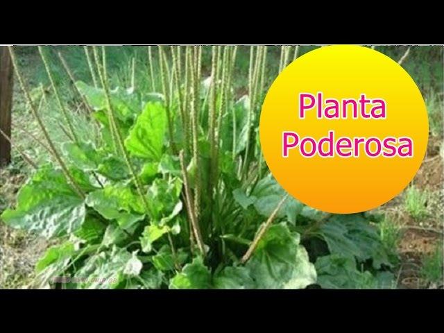 Esta planta é poderosa para tratar asma, gripe, sinusite e dor de garganta