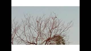 cek spot hunting burung tekukur berburu burung tekukur spot 1