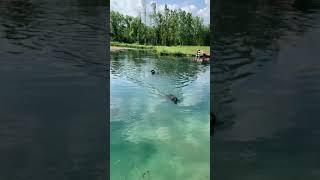 Gordon Setter Duck dogs training