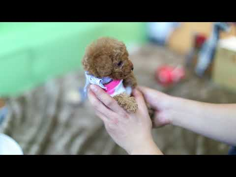 Teacup Toy Poodle Dog