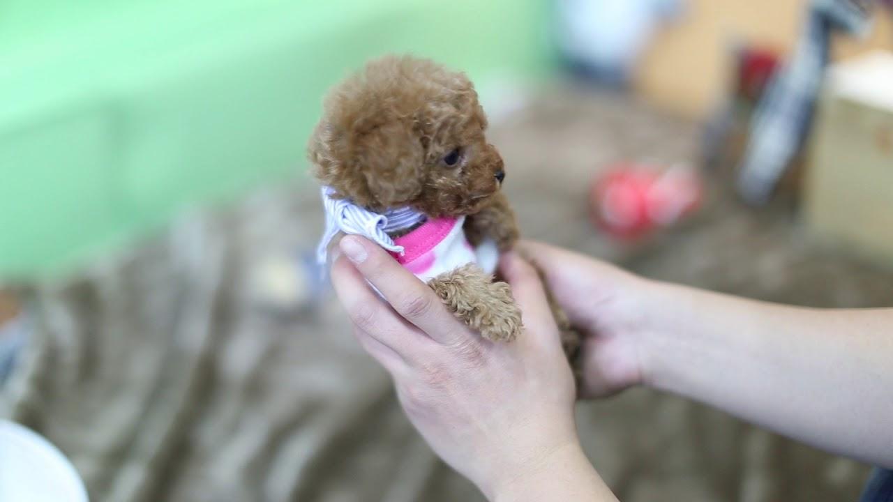 tea cup toy poodles