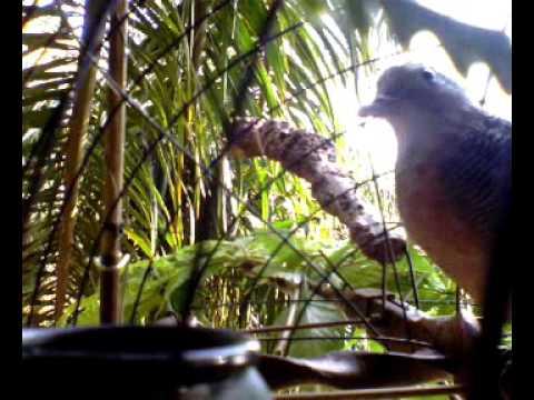 Sibotak kocak kondang sedut lmn sawit