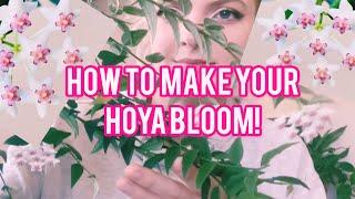 Hoya Bella Blooms Care Guide