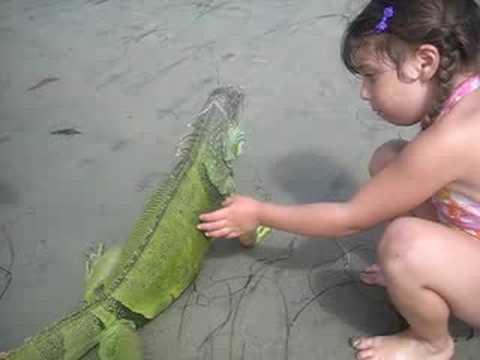 Iguana beach encounter