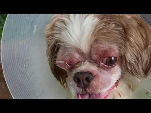 Shih Tzu Bites The Owner Whenever He Applies Eye Drops