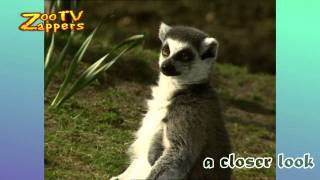 ZooZappers - Ring-tailed Lemur Family - Ringstaartmaki  #06