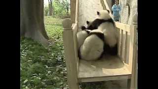 Cute pandas playing on the slide - Lindos Pandas Jugando
