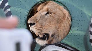 Сливки из визита в парк львов Тайган