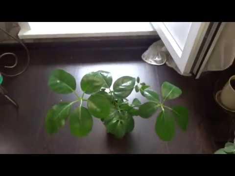 Цветы в моем доме. Комнатные растения. Пальмы и похожие. 1ч