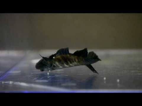 How to Breed Betta