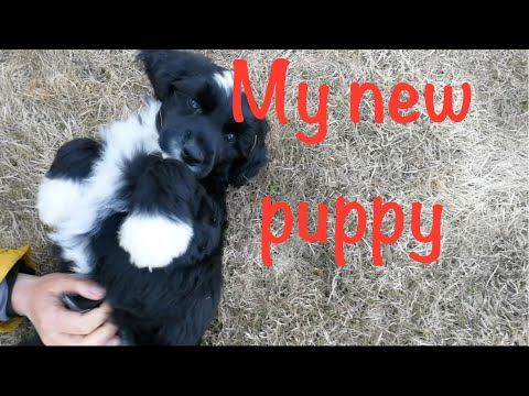 My new puppy - Portuguese water dog