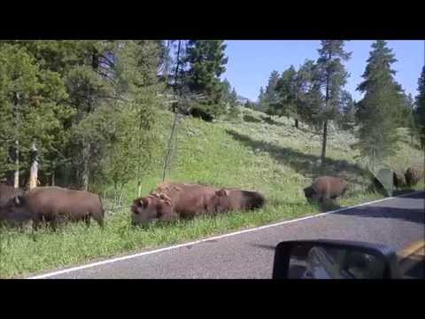 A herd of Bison head towards our car in Yellowstone National park.