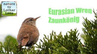 Eurasian wren sings. zaunkönig singt
