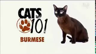 Бурманская кошка 101kote.ru Burmese 101cats
